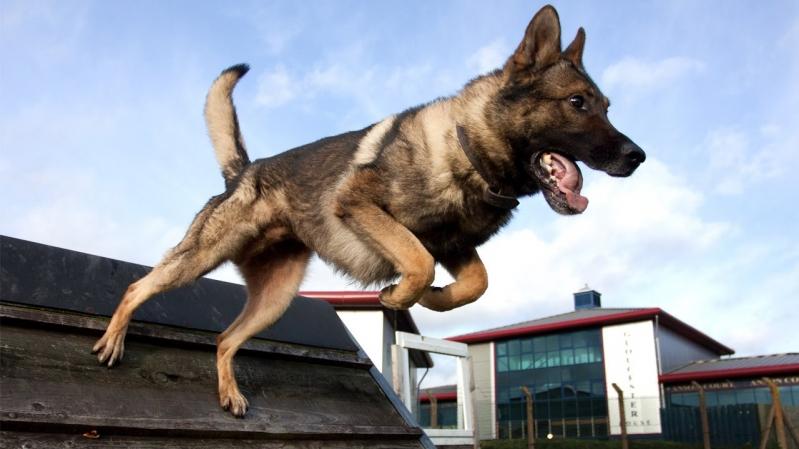 الكلاب تتأهب لكشف مرضى كورونا