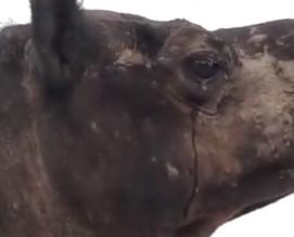 فيديو مؤثر.. دموع ناقة فقدت صغيرها في الصحراء - المواطن