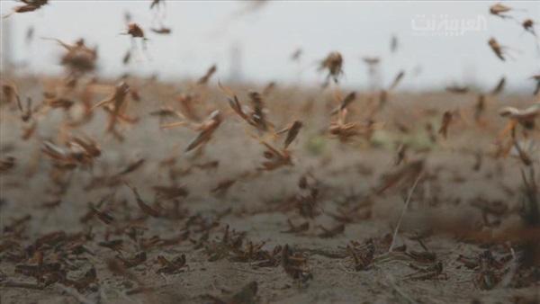 البيئة تكافح الجراد الصحراوي وتعالج 2000 هكتار في جازان والليث