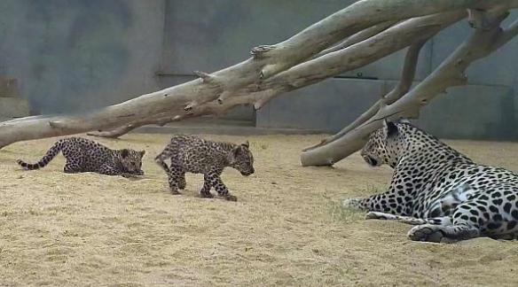 ولادة صغيرين من النمور العربية ضمن جهود المملكة في حماية الحياة الفطرية