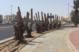 تقزيم الأشجار.. مجزرة مستمرة تحت عين البلديات - المواطن