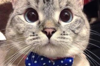 nala cat أشهر قطة تدر 8 آلاف دولار لكل تغريدة - المواطن
