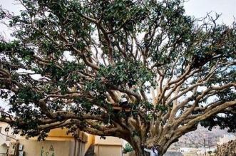 فيديو.. سقوط شجرة تجاوز عمرها 500 عام في بلجرشي - المواطن