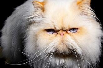 صور.. منافسة بين بعض سلالات القطط الأكثر غرابة في العالم - المواطن