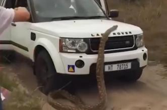 فيديو.. ثعبان عملاق يهاجم سيارة سياح - المواطن