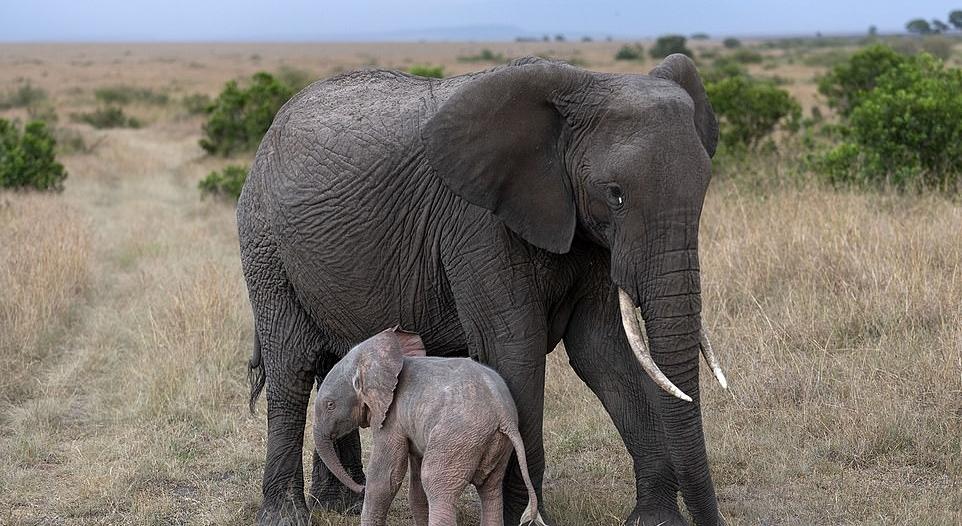 ولادة فيل وردي نادر في كينيا!