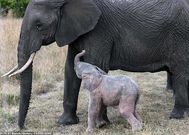 ولادة فيل وردي نادر في كينيا! - المواطن