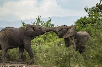 فيل غاضب يُنهي حياة مصور بطريقة مؤلمة - المواطن