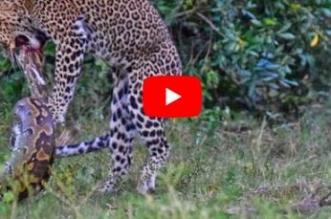 معركة دامية بين نمر وثعبان ضخم - المواطن