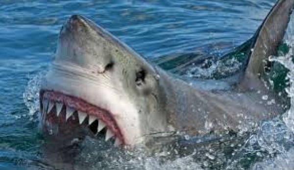 سمكة قرش عملاقة تهاجم عالمًا أمريكيًا - المواطن