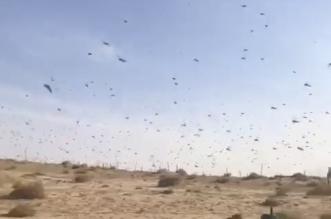 فيديو.. أسراب الجراد في الخبر - المواطن