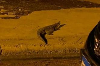 تمساح يتجول في أكتوبر المصرية! - المواطن