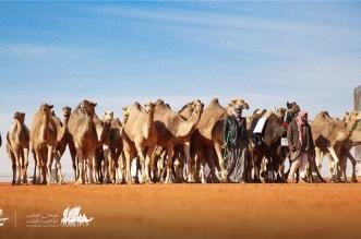 القحطاني : مهرجان الملك عبدالعزيز حول الإبل لرافد اقتصادي حقيقي - المواطن
