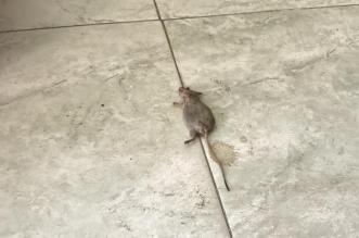 فئران في مخبز بوادي الدواسر! - المواطن