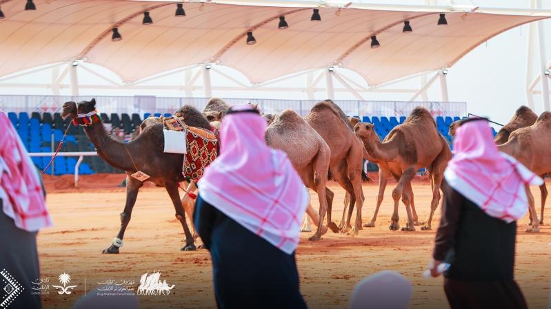 رماح تسخر إمكاناتها لاستقبال زوار مهرجان الملك عبدالعزيز للإبل