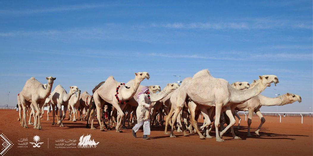 ابن حثيلين : لا مجاملة لأحد في مهرجان الملك عبدالعزيز للإبل