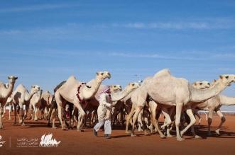 مهرجان الملك عبدالعزيز للابل منقية شقح 2