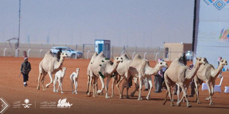 1 ديسمبر.. انطلاق مهرجان الملك عبدالعزيز للإبل