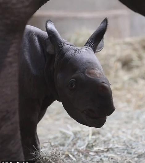 صور.. ولادة وحيد قرن أسود مهدد بالانقراض