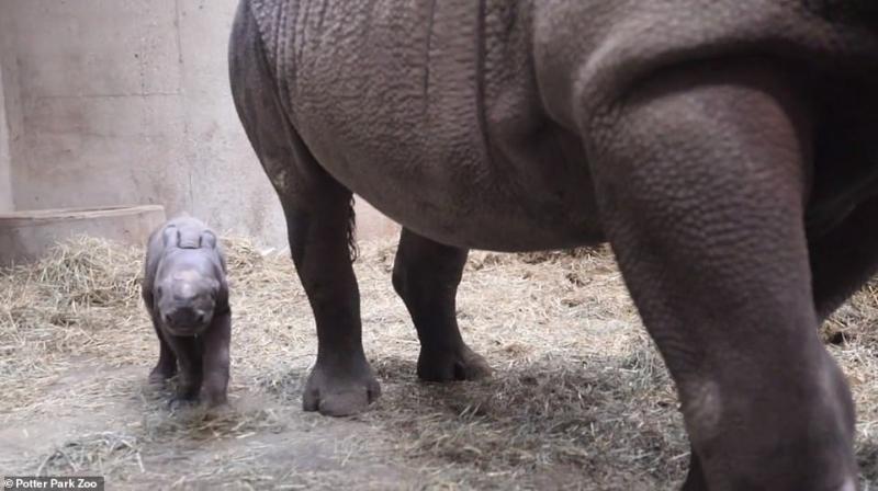 صور.. ولادة وحيد قرن أسود مهدد بالانقراض - المواطن