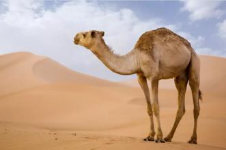 البيئة: ترقيم جميع الماشية في السعودية الفترة المقبلة - المواطن