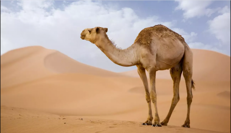 البيئة: ترقيم جميع الماشية في السعودية الفترة المقبلة