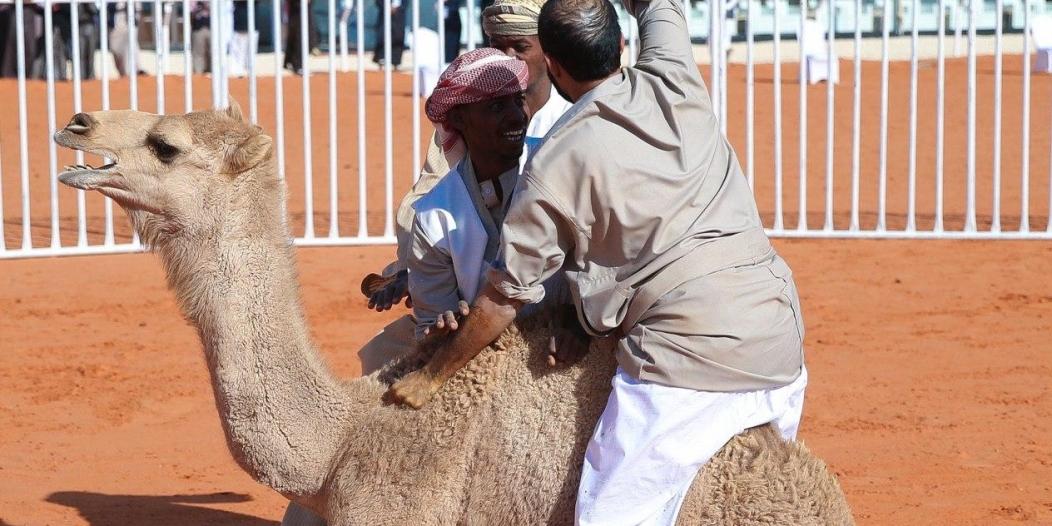 3 متنافسين على سيارة القعود بمهرجان الملك عبدالعزيز للإبل