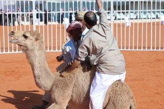 3 متنافسين على سيارة القعود بمهرجان الملك عبدالعزيز للإبل - المواطن