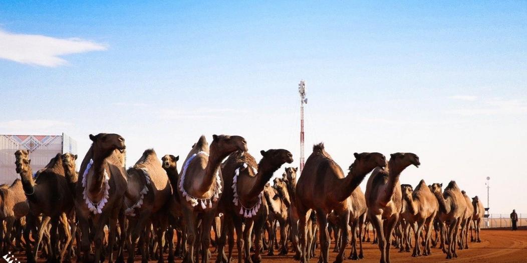 6 فعاليات تميز النسخة الرابعة لمهرجان الملك عبدالعزيز للإبل