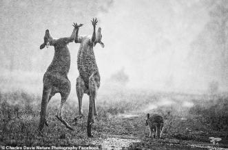 صورة مذهلة لحيواني الكنغر تحت المطر