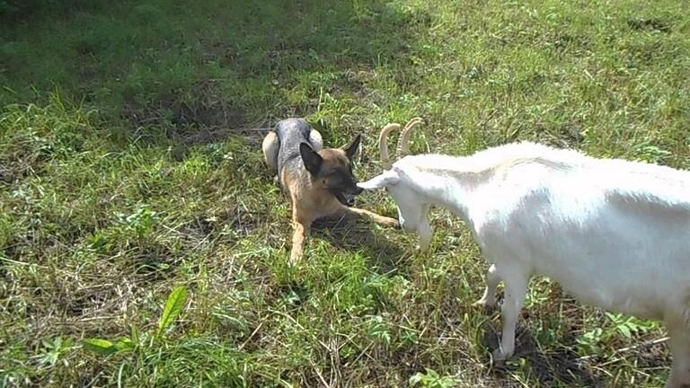 حقيقة لا خيال.. عنزة وكلب يتنافسان على منصب العمدة!