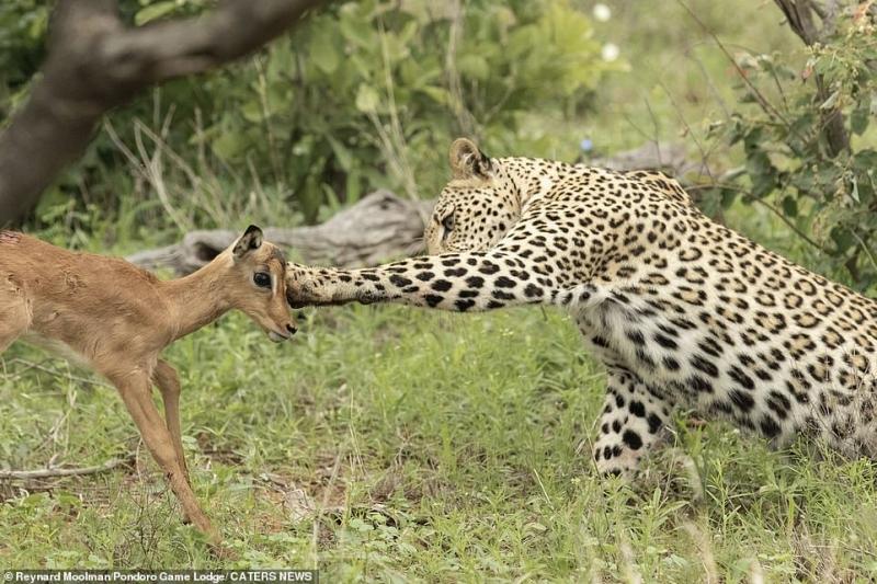 قبلة الموت.. نمر يقبّل غزالًا ويلهو معه قبل افتراسه - المواطن
