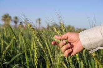 مزارع القمح بنجران تأذن بموسم وفير - المواطن