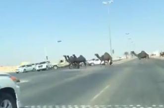 مواطن يصدم مركبة متعمدا لتمكين الابل من عبور الطريق