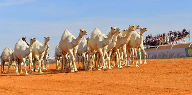 ترقيم أكثر من 7 آلاف رأس في مهرجان الإبل