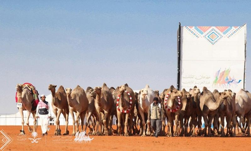 مهرجان الملك عبدالعزيز يعيد التمياط للإبل