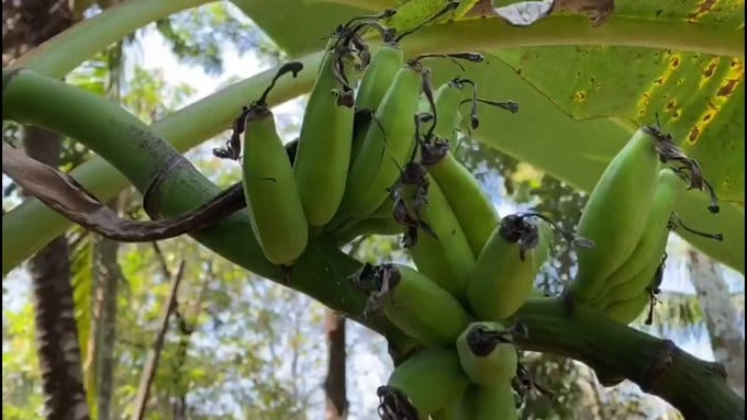 الموز الهندي