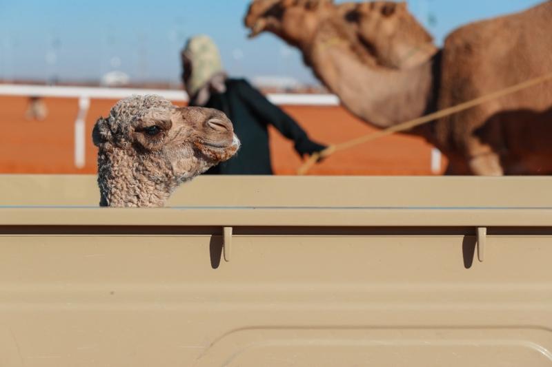 المفاريد تستهدف صغار المنتجين في مهرجان الملك عبدالعزيز للإبل - المواطن