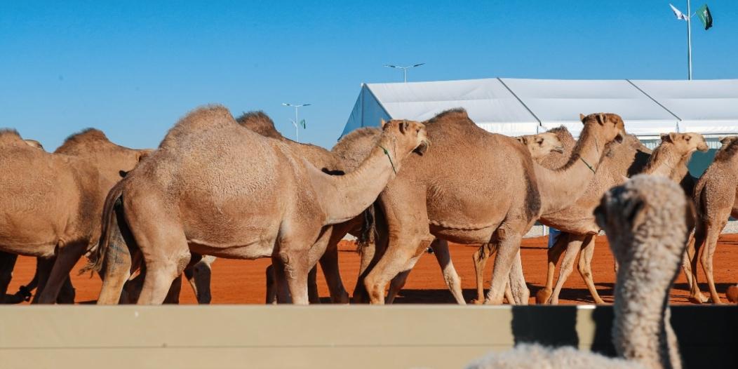 المفاريد تستهدف صغار المنتجين في مهرجان الملك عبدالعزيز للإبل