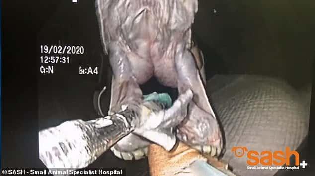 فيديو وصور.. عملية جراحية لإنقاذ حياة ثعبان بطول 3 أمتار - المواطن
