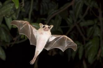 خفاش على موائد الأكل الإندونيسية