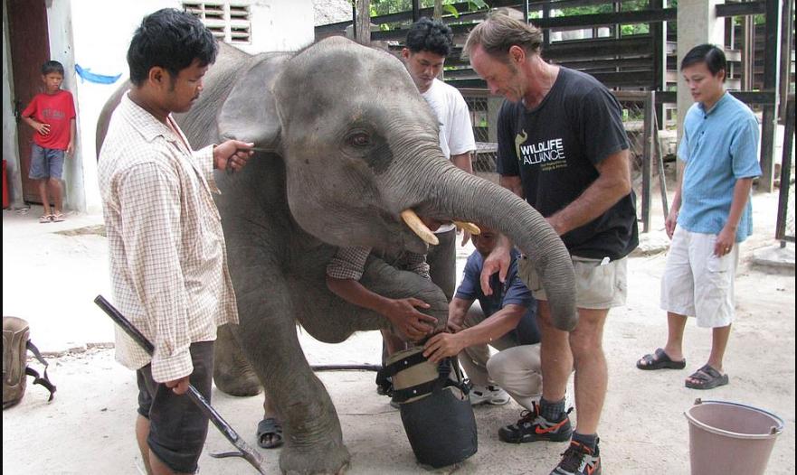 بالصور.. فيل معاق يستمتع بحياته بعد حصوله على أطراف اصطناعية