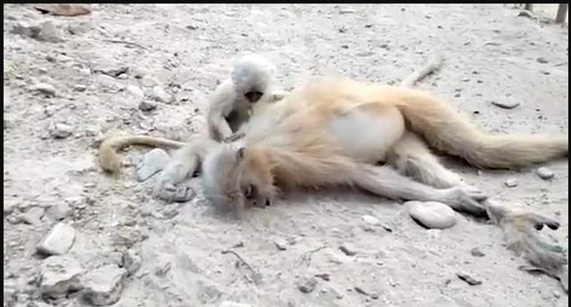فيديو مؤثر لقرد رضيع يحتضن والدته الراحلة ويحاول إيقاظها