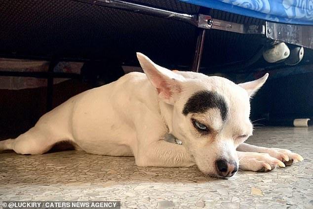 فيديو وصور.. كلب بحاجب أسود مرفوع وعيون مختلفة يخطف الأنظار - المواطن