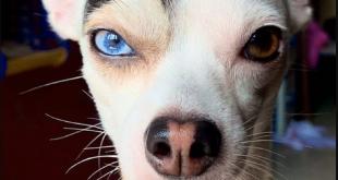 فيديو وصور.. كلب بحاجب أسود مرفوع وعيون مختلفة يخطف الأنظار