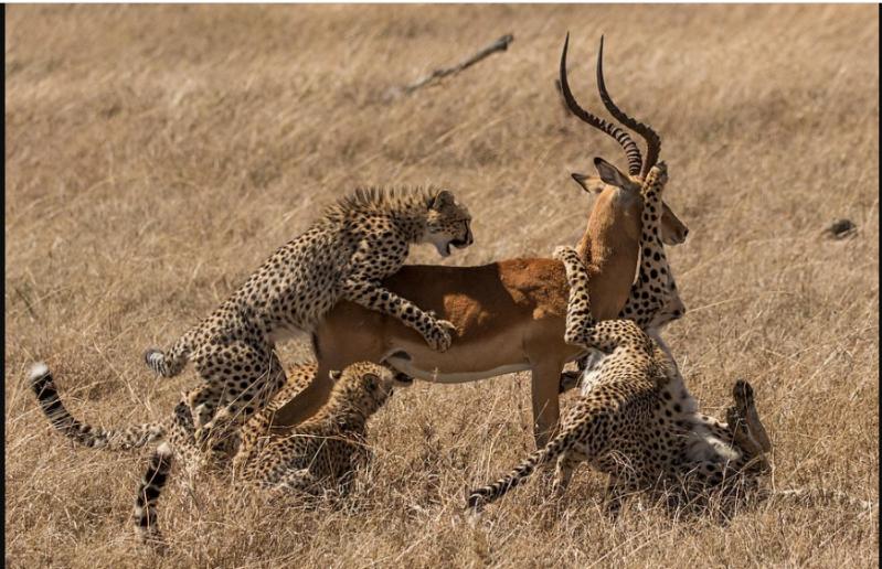 صور صادمة لغزال يهرب من بين أنياب 5 نمور مفترسة