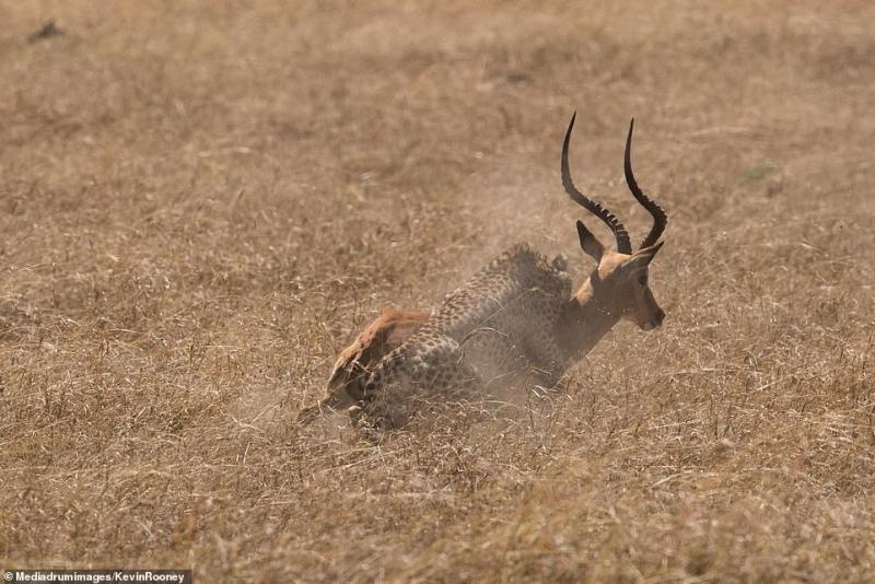صور صادمة لغزال يهرب من بين أنياب 5 نمور مفترسة - المواطن