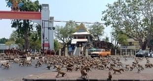 حرب القرود في تايلاند بسبب كورونا والموز.. ما الرابط ؟