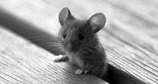 الفئران تحتل شوارع نيو أورليانز بعد تطبيق حظر التجول