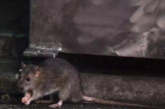أخبار مطمئنة عن فيروس هانتا.. ليست كل الفئران حاملة له - المواطن